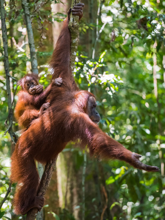 Baby orangutan sits on his mothers back and looks at the photographer in the dense jungle (Bohorok, Indonesia) Stock Photo