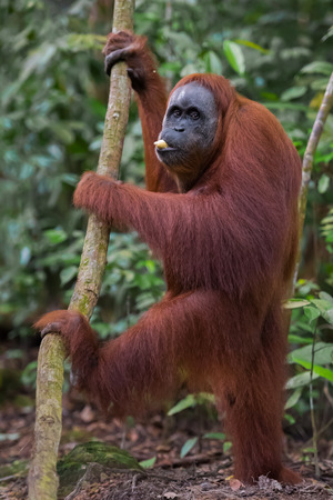 Shaggy orangutan standing near tree and chews a banana (Bohorok, Indonesia) Stock Photo