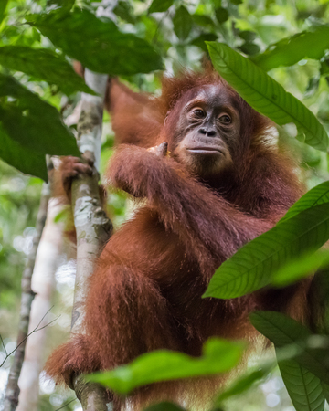 Fluffy orangutan sitting among the leaves on a tree in the jungle (Bohorok, Indonesia)
