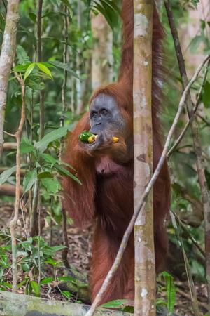 Shaggy orangutan standing near tree and chews bananas (Bohorok, Indonesia) Stock Photo