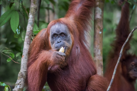 Close-up of an adult orangutan eats a banana and looking directly (Bohorok, Indonesia) Stock Photo