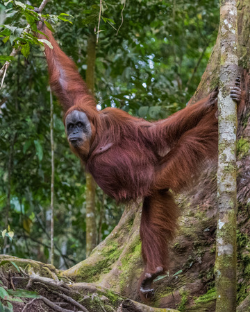 Shaggy adult orangutan demonstrates its strength and flexibility through the trees and looking to the side (Bohorok, Indonesia)