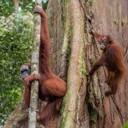 pongo: Two orangutan standing near a huge tree in the thick jungle (Bohorok, Indonesia) Stock Photo