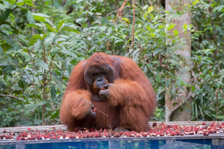 Big orangutan sitting on a wooden platform and eats ripe rambutan (Kumai, Indonesia)