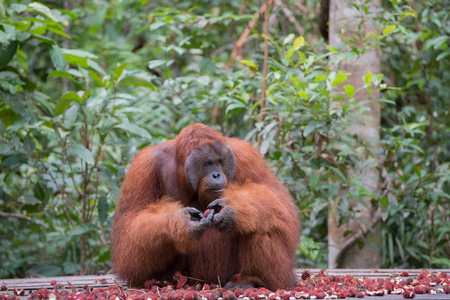 Big orangutan sitting on a wooden platform near the mountain of ripe rambutan and looks away (Kumai, Indonesia)