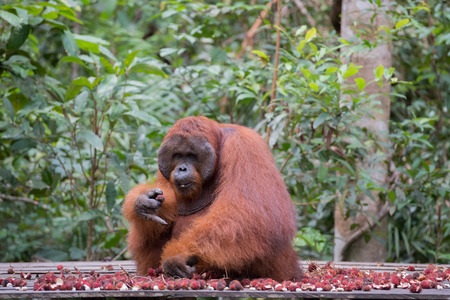 Big orangutan sitting on a wooden platform near the mountain of ripe rambutan and looks directly (Kumai, Indonesia) Stock Photo