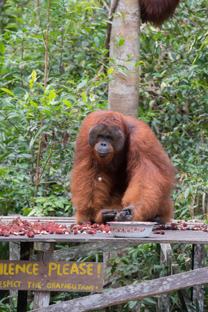 Adult orangutan huge rambutanom dine on a special wooden platform (Kumai, Indonesia)
