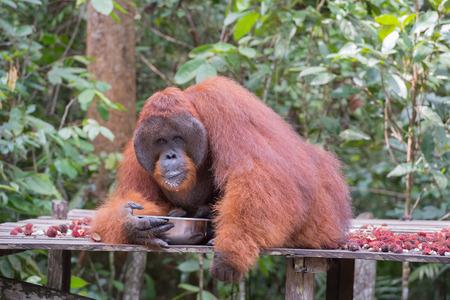 republik: Huge red orangutan drinking from a metal bowl on a wooden platform (Kumai, Indonesia)