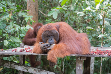 Huge orangutan lies on a wooden platform and drinks from a metal bowl on a background of green jungle (Kumai, Indonesia)