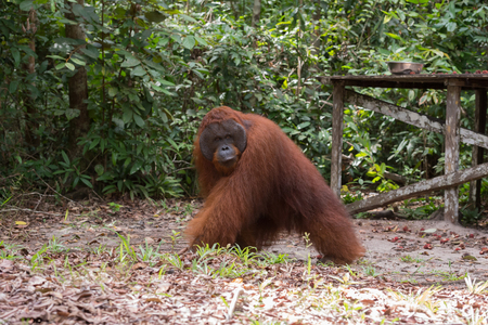 Huge fluffy-male orangutan goes on fallen leaves next to a wooden dais in the wild jungle (Kumai, Indonesia) Stock Photo