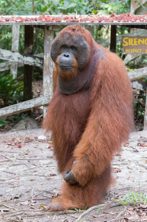 pongo: Powerful furry orangutan stands near a wooden platform with rambutan in the center of the dense jungle (Kumai, Indonesia) Stock Photo