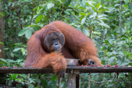 pongo: Huge fluffy orangutan lies on a wooden platform next to a metal bowl on a background of green trees (Kumai, Indonesia) Stock Photo