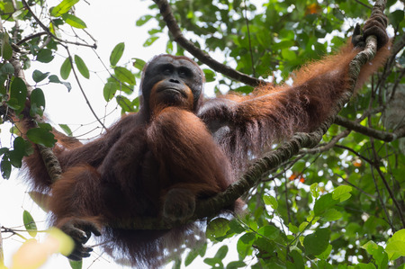 republik: Thoughtful orangutan sits on a branch and looking away in the background of green leaves - view from below (Kumai, Indonesia) Stock Photo