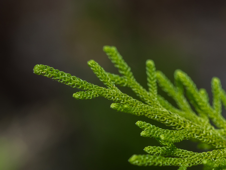 republik: Light green sprig of tree is a gray-green background - close-up (Kumai, Indonesia)