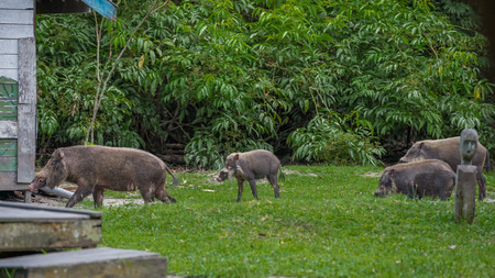 Bearded Pig of Borneo are on the green grass on a background of a spreading bush (Kumai, Indonesia)