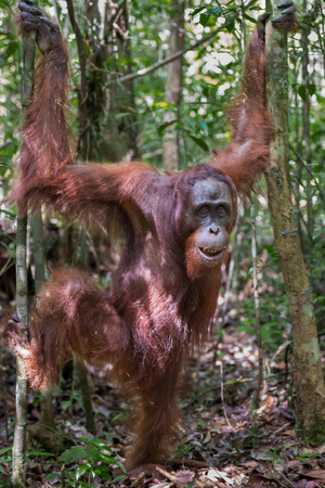 indonesian biodiversity: Close orangutan Pongo stands on dry leaves among the thin trees in evergreen jungle (Kumai, Indonesia) Stock Photo