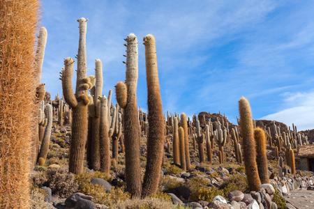Aitiplano, Cactus island. Bolivia