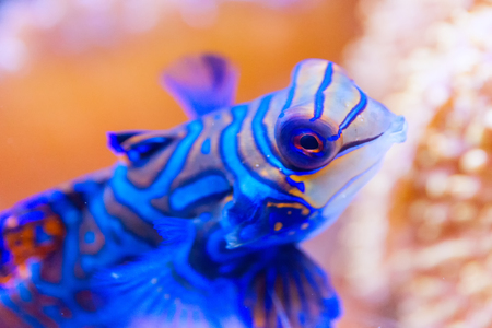 Blue Mandarin fish in Coral at the Philippines very colourfull, close-up
