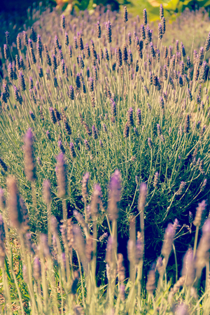 Beautiful violet lavender field in Bolivia. charming background Фото со стока