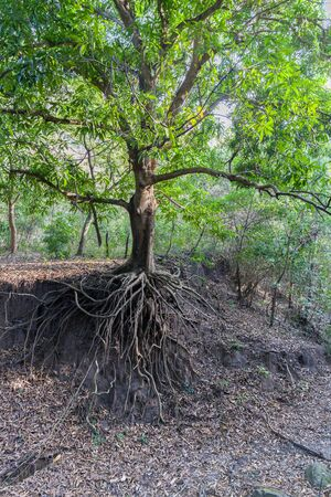 Still a green tree, but already devoid of soil under the roots due to soil erosion caused by human activity Фото со стока