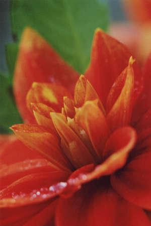 dahlia: nature, flower, dahlia