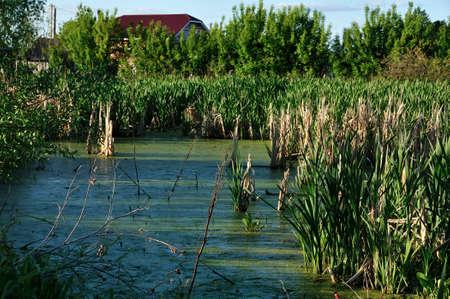 Lenti d'acqua verde nel pantano di palude di palude con canne sullo sfondo di nuove abitazioni e condomini alla periferia di una piccola città. Archivio Fotografico