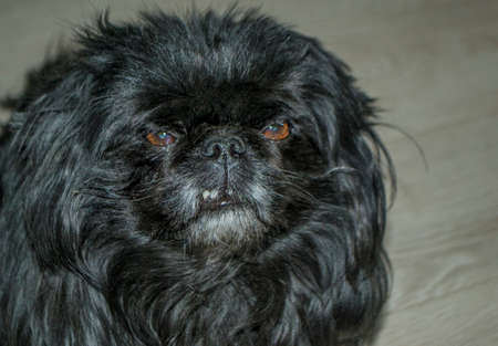 black dog Pekingese grins and angry Stock Photo