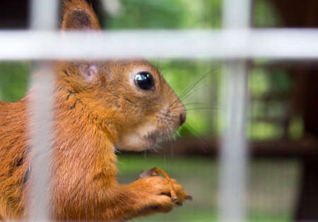gray: Fluffy squirrel in a cage in a zoo Stock Photo