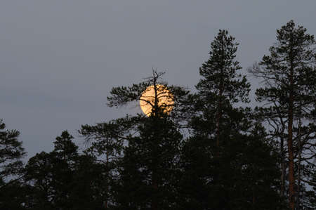 Full moon behind branches of a tree in the north in summer. A large yellow moon hid behind a tree, Murmansk region.