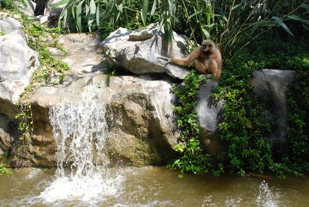 Gibbon at the Falls Stock Photo - 28033664