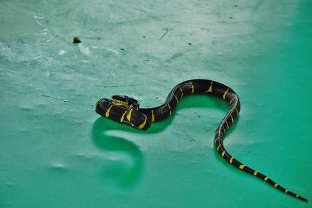 Krayt tape (bungarus fasciatus) - a poisonous snake Stock Photo - 34339624