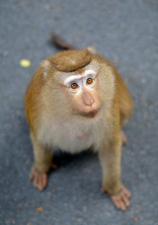 mournful: Portrait of macaque with mournful eyes