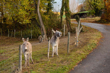 Two donkeys on the farm behind the fence