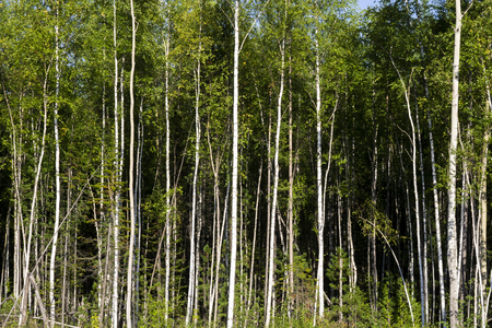 Birch trees in bright sunshine in late summer. Trees in a forest. birch trees trunks - black and white natural background. birch forest in sunlight in the morning
