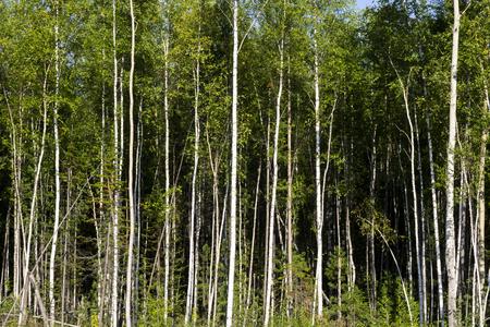 Bouleaux en plein soleil à la fin de l'été. Arbres dans une forêt. troncs de bouleaux - fond naturel noir et blanc. forêt de bouleaux au soleil le matin