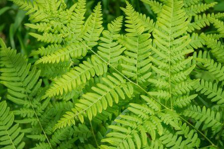 Farn in der Waldnahaufnahme. Grüner Farn im selektiven Fokus.