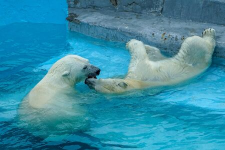 Sibling wrestling in baby games. Two polar bear cubs are playing about in pool. Cute and cuddly animal kids, which are going to be the most dangerous beasts of the world