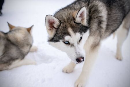 Two playing siberian husky dogs outdoor. Two Siberian Husky dogs looks forward sitting on the snowy shore frozen river. Cute portrait beautiful dogs