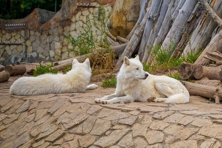 Arctic Wolf or Polar White Wolf, is a subspecies of the Gray Wolf. The duo of the wolves in the zoo.