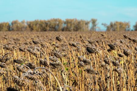 Withered sunflowers in the autumn field. Mature dry sunflowers are ready for harvest. Bad harvest of sunflower on the field. Blackened unclean abandoned bad harvest in an autumn field Standard-Bild - 133609115