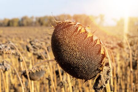 The mature full dry sunflower plant with seeds in the head sprouts on the field under the open sky. Before harvest. Standard-Bild - 133609276