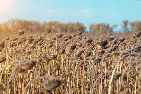 Withered Sunflowers in the Autumn Field Against Blue Sky. Ripened Dry Sunflowers Ready for Harvesting. Standard-Bild - 133609277
