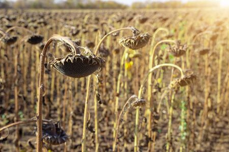 Withered Sunflowers in the Autumn Field Against Blue Sky. Ripened Dry Sunflowers Ready for Harvesting. Standard-Bild - 133609279