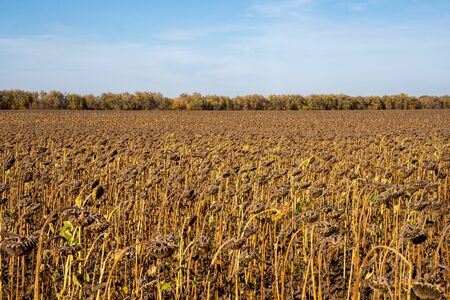 Withered Sunflowers in the Autumn Field Against Blue Sky. Ripened Dry Sunflowers Ready for Harvesting. Standard-Bild - 133609280