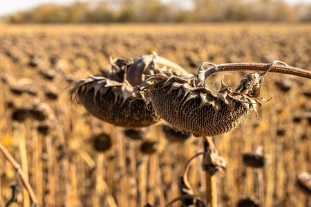Withered Sunflowers in the Autumn Field Against Blue Sky. Ripened Dry Sunflowers Ready for Harvesting. Standard-Bild - 133609306