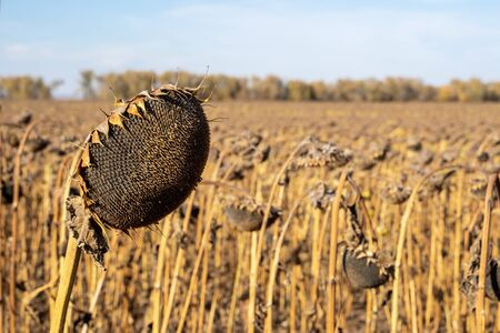 Withered sunflowers in the autumn field. Mature dry sunflowers are ready for harvest. Bad harvest of sunflower on the field. Blackened unclean abandoned bad harvest in an autumn field Standard-Bild - 133609309