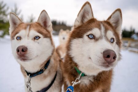 Winter portrait two Siberian husky dogs against the blue sky. Husky dogs sit on snow