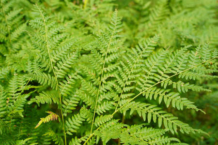 Dense fern thickets close-up. Beautiful nature background with many ferns. Scenic backdrop of rich greenery among trees. Full frame of chaotic wild ferns. Vivid green texture of lush fern leaves