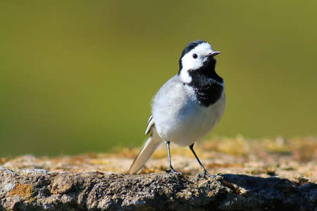 Wagtail on a stump with a beautiful background photo
