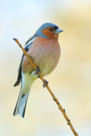 finch: spring finch on a branch Stock Photo